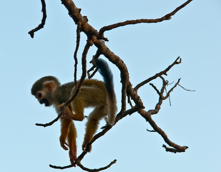 Squirrel monkey in a branch in Israel . Stock Photo - 11966606