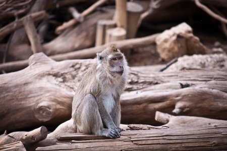 Crab-Eating macaque (Macaca fascicularis) . photo