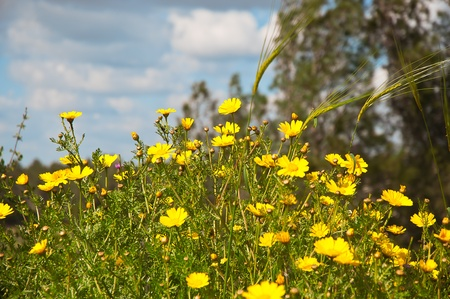 Yellow camomile  Anthemis tinctoria  in the spring day on the park