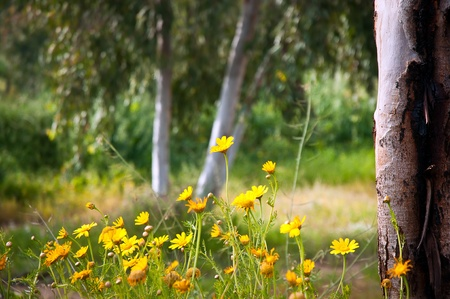 Yellow camomile  Anthemis tinctoria  in the spring day on the park Stock Photo - 13135126