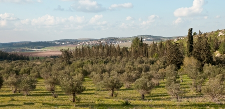 Panorama with rows of olive trees in the country  Spring  Israel