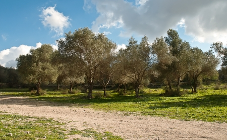 Rows of olive trees in the country  Spring  Israel  photo