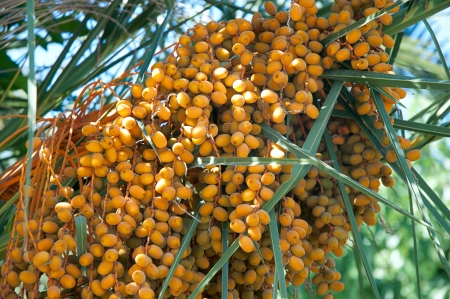 Date palm tree with dates   photo