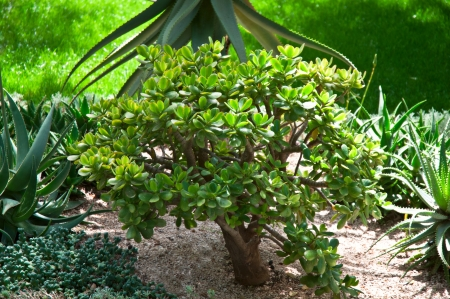 jade: Dollar plant  crassula   growing in a natural environment