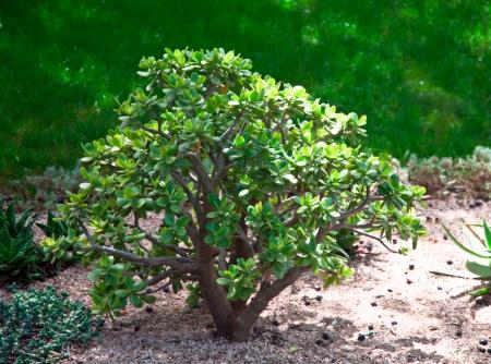 crassula: Dollar plant  crassula   growing in a natural environment