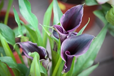 Blooming Flowers black calla lilies with green leaves