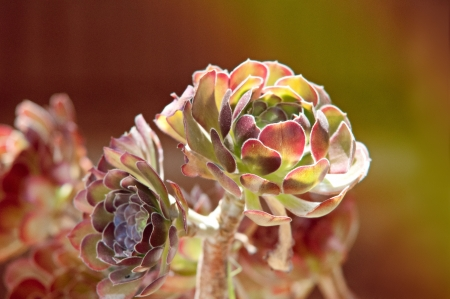 Succulents growing in the garden under the sun.