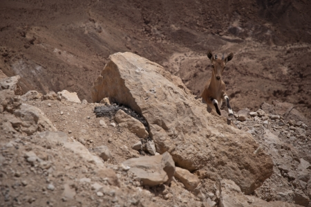 negev: Ibex in the Negev desert  Israel