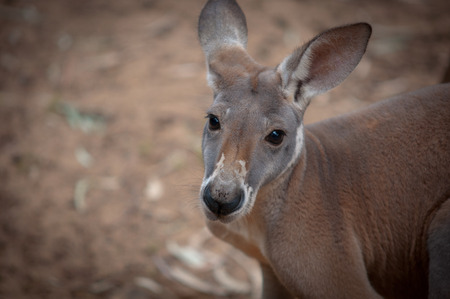 animal pouch: Portrait of a red kangaroo close-up. Stock Photo
