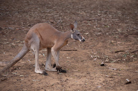 animal pouch: Portrait of a male red kangaroo close-up.