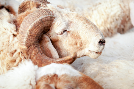 israel farming: Up picture of a rams head close-up. Stock Photo
