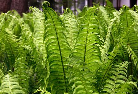 requiring: Green fern leaves (lat. Polypodiophyta). Horizontal format.
