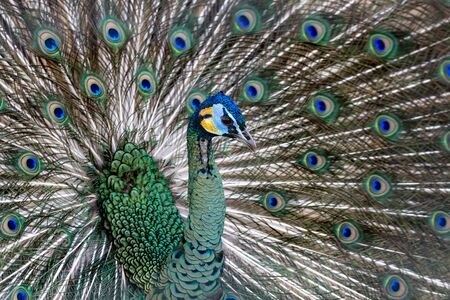 Colorful peacock and its wonderful colorful tail. Portret close up. Multicolor feather pattern as background Stock Photo
