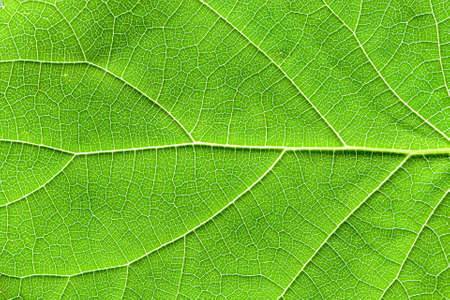 Close-up of a textured green leaf with fanciful patterns formed by veins. Photo can be used as background, texture for decoration and design. 写真素材