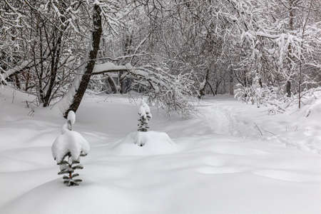 It is snowing and drifts. Clean fresh snow, snow-covered trees on a light background, well-trodden path.
