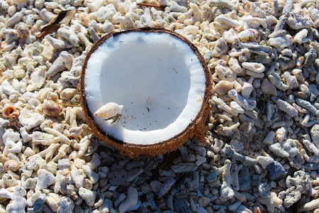 nibbling: Hermit crab nibbling on coconut