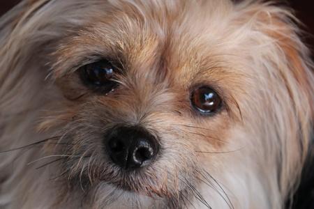 silky terrier: Otis Terrier Silky