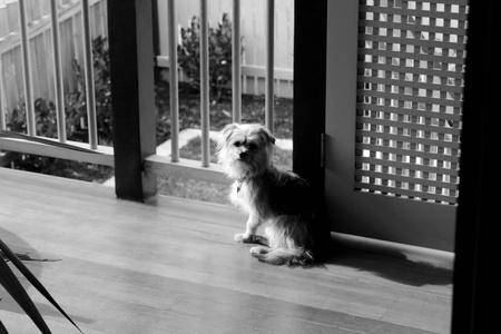 silky terrier: Otis il Terrier Australian Silky