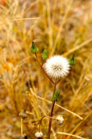 Dandelion in a field of dread grass photo
