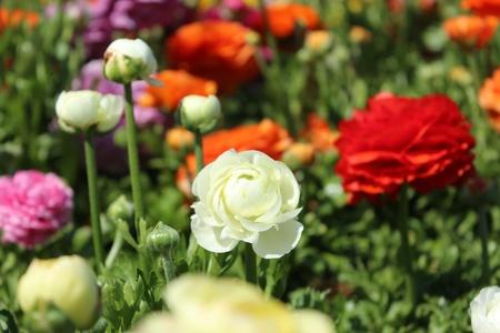 Wild Roses photo