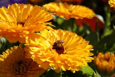 garden marigold: Bee on a marigold flower Stock Photo