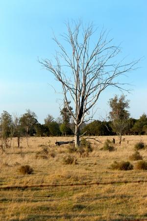 Dead tree in a paddock photo