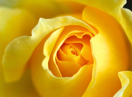 orange rose: Yellow Rose Close up