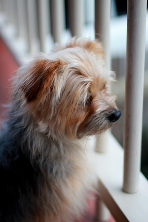 silky terrier: Australian Silky Terrier Stock Photo
