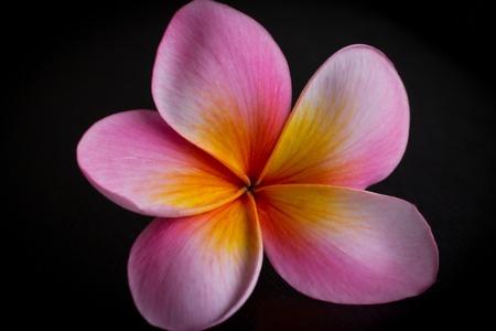 Pink Frangipani Stock Photo - 11488259