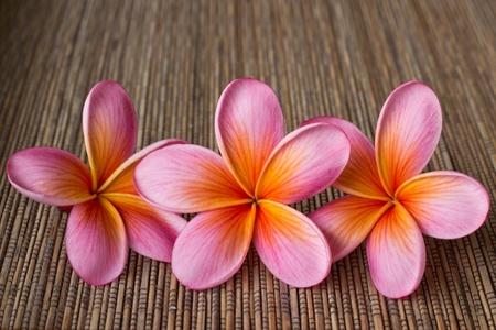 plumeria on a white background: 3 pink frangipani flowers
