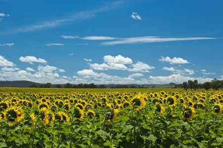 Sunflower field facing away photo