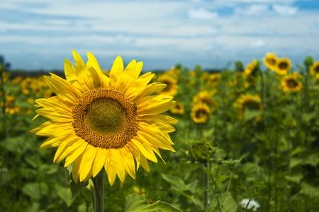 Reuze Zonnebloem in een veld Stockfoto