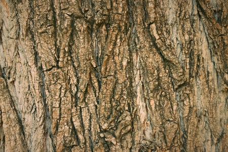 arbol alamo: Poplar tree photo texture. Natural rustic wood background. High resolution bark backdrop.