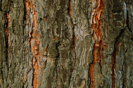 Catalpa Catawba Tree High Resolution Photo Texture Natural Rustic Wood Background Cigar