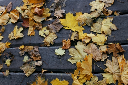 Autumn wooden floor background with maple leaves