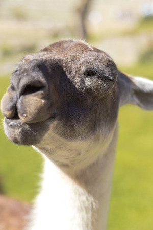 Llama with a smiling face and closed eyes photo