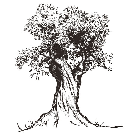 tree sketch: olive tree Illustration