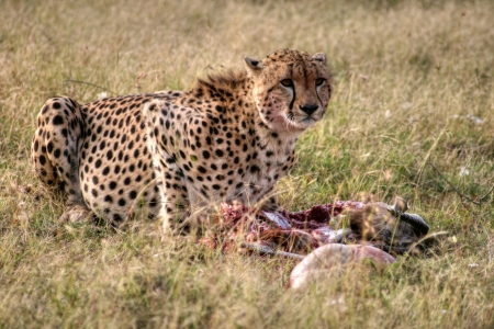Cheetah eating photo