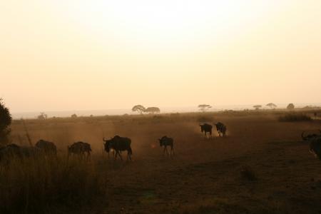 wildebeest: herd of wildebeest Stock Photo