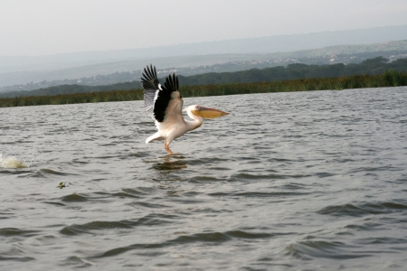 pelican flying photo