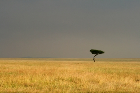 savana: Lone tree in the savannah