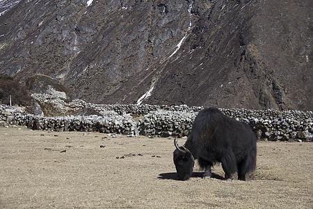 yak: the yak Stock Photo