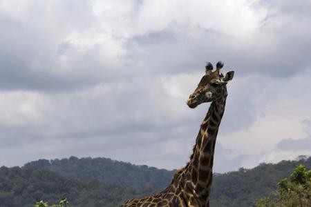 tanzania: wildlife in tanzania