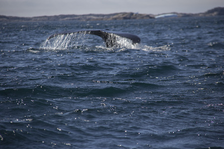 south coast: whale in the south coast of greenland
