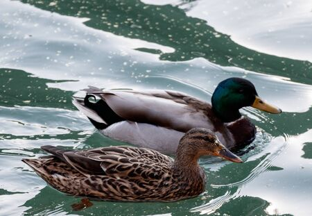 wild duck in a lake