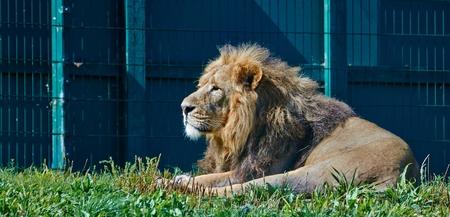 Asian Lion laying photo