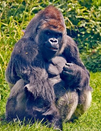western lowland gorilla: Western Lowland Gorilla Harry Archivio Fotografico