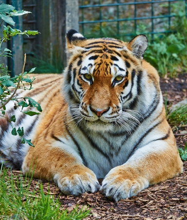 Amur Tiger photo