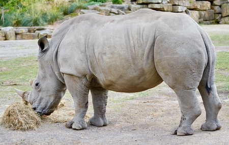 northern african: Southern White Rhinoceros Stock Photo