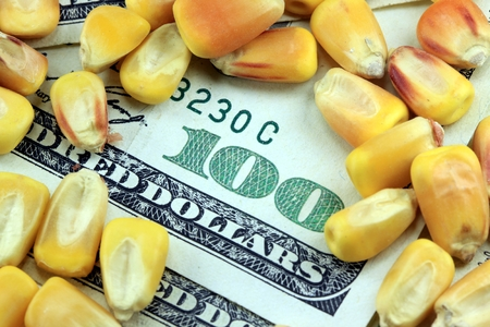 commodity: Commodity Market  Futures and Options Trading Concept with corn and American currency